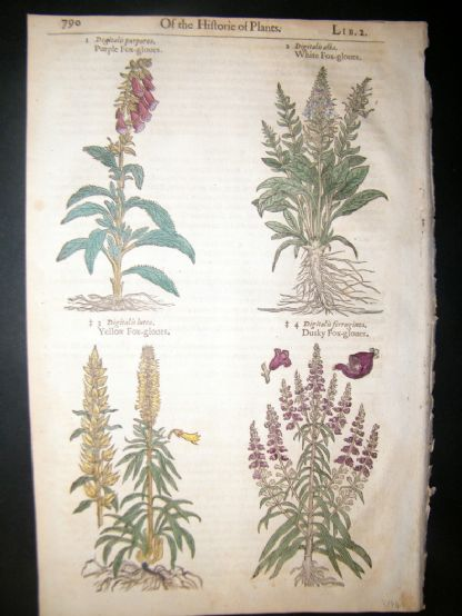 Gerards Herbal 1633 Hand Col Botanical Print. Fox Gloves | Albion Prints